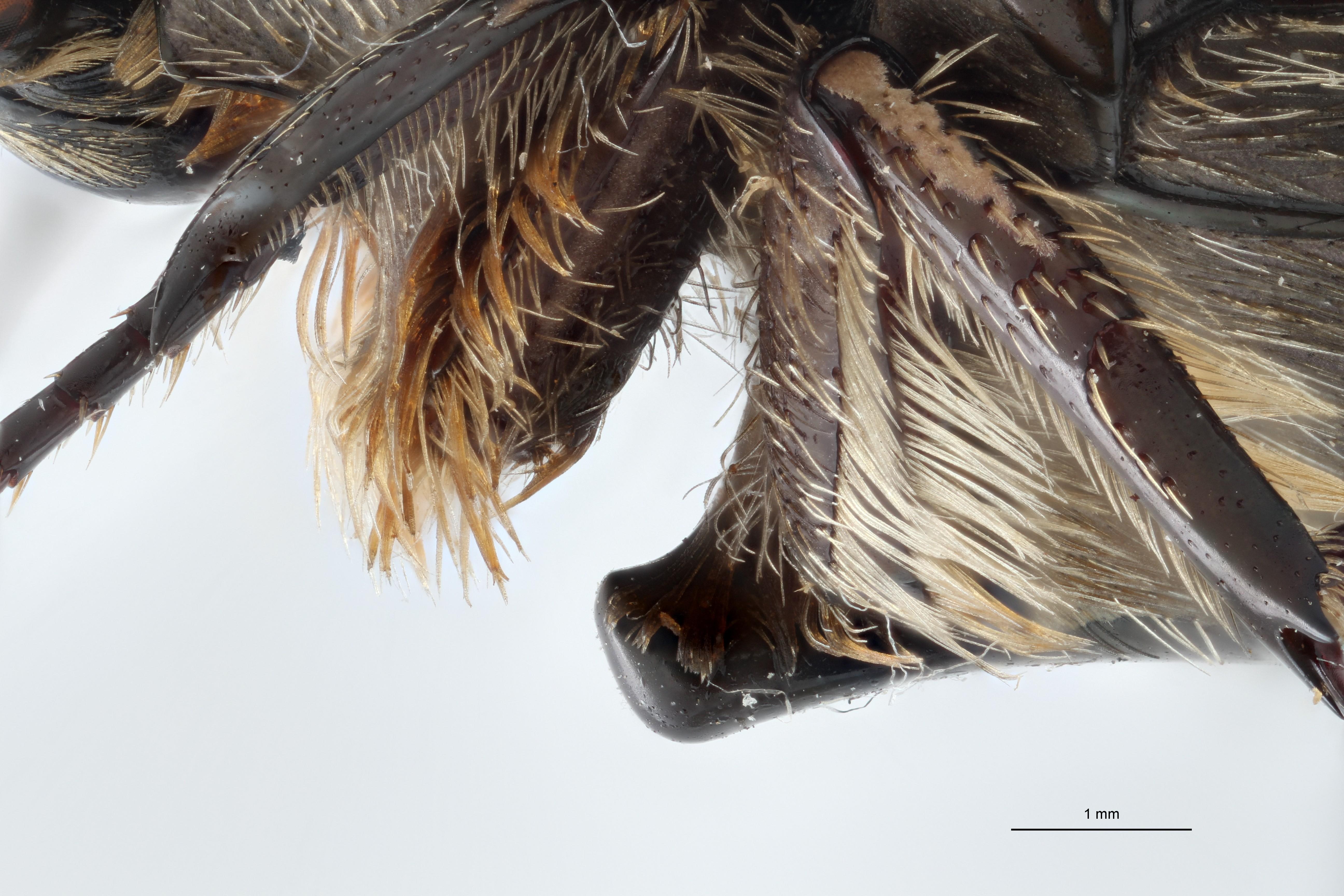 Rhabdotis lorinae alt L ap M ZS PMax.jpg