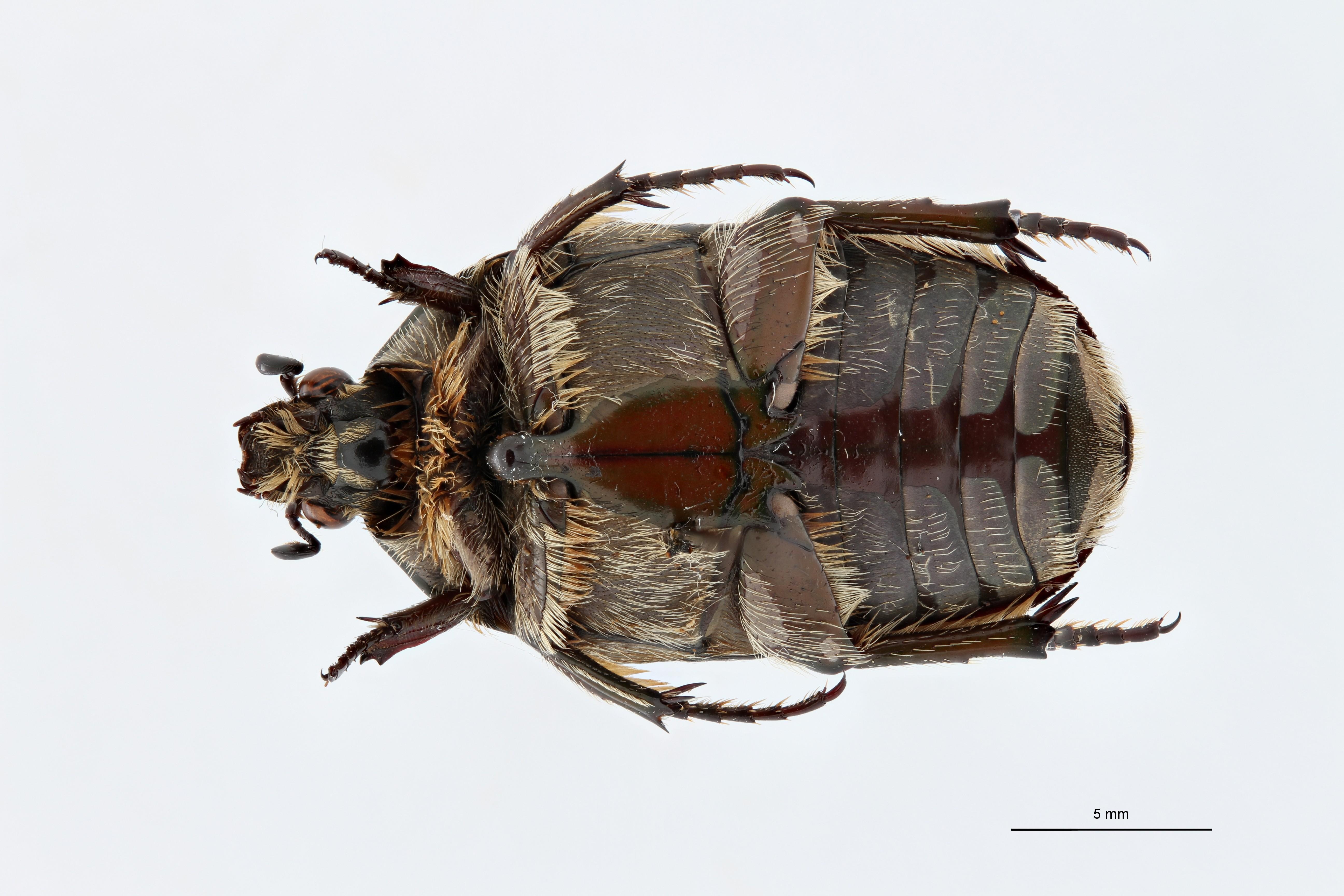 Rhabdotis lorinae alt V ZS PMax.jpg