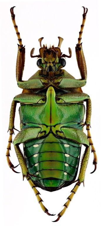 Stephanorrhina guttata 18736zs44.jpg
