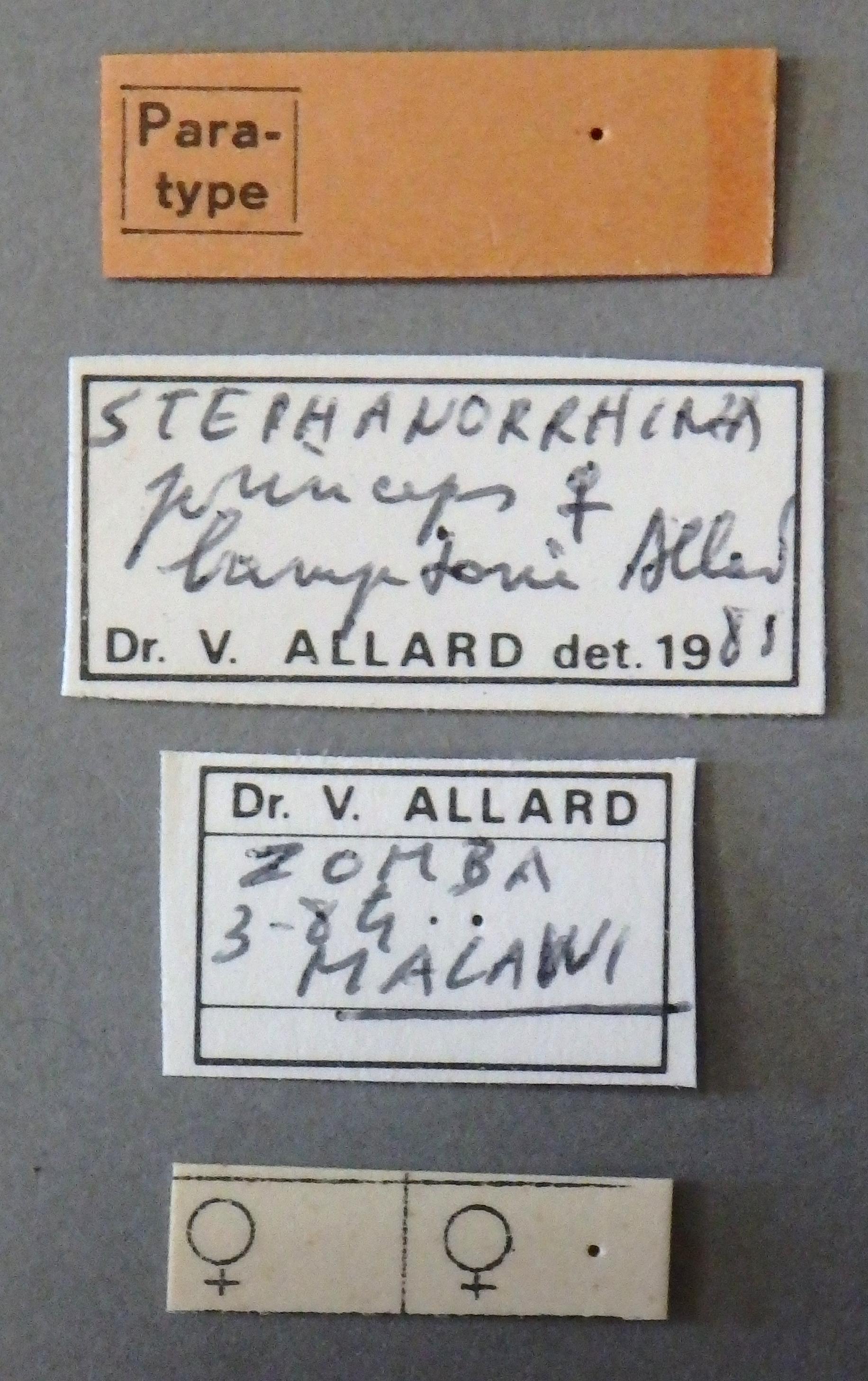 Stephanorrhina princeps bamptoni pt 2 Lb.JPG