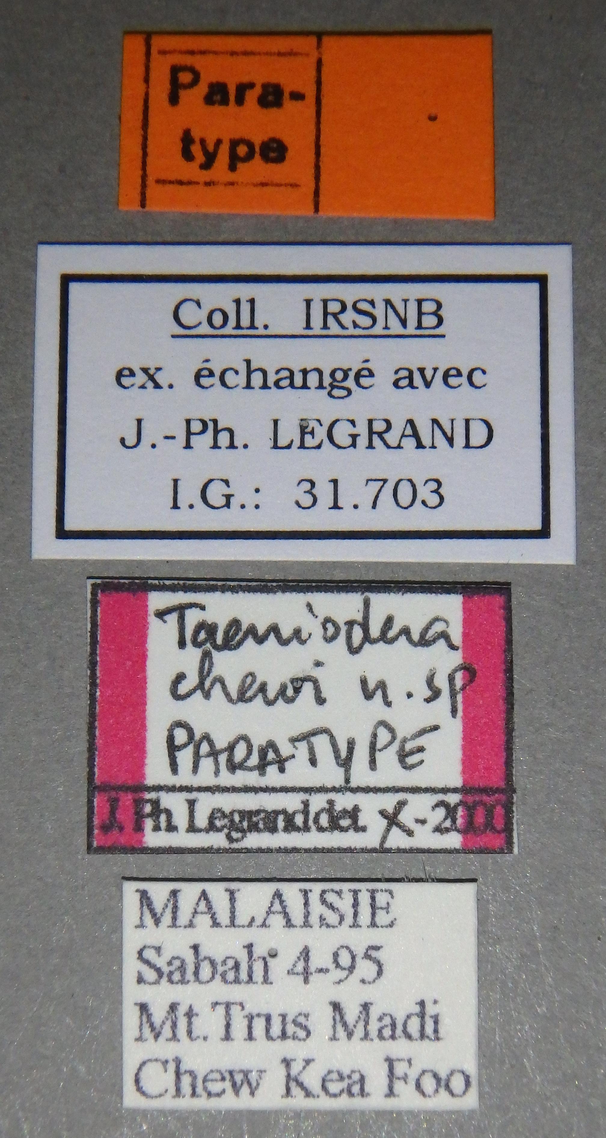 Taeniodera chewi pt2 Lb.JPG