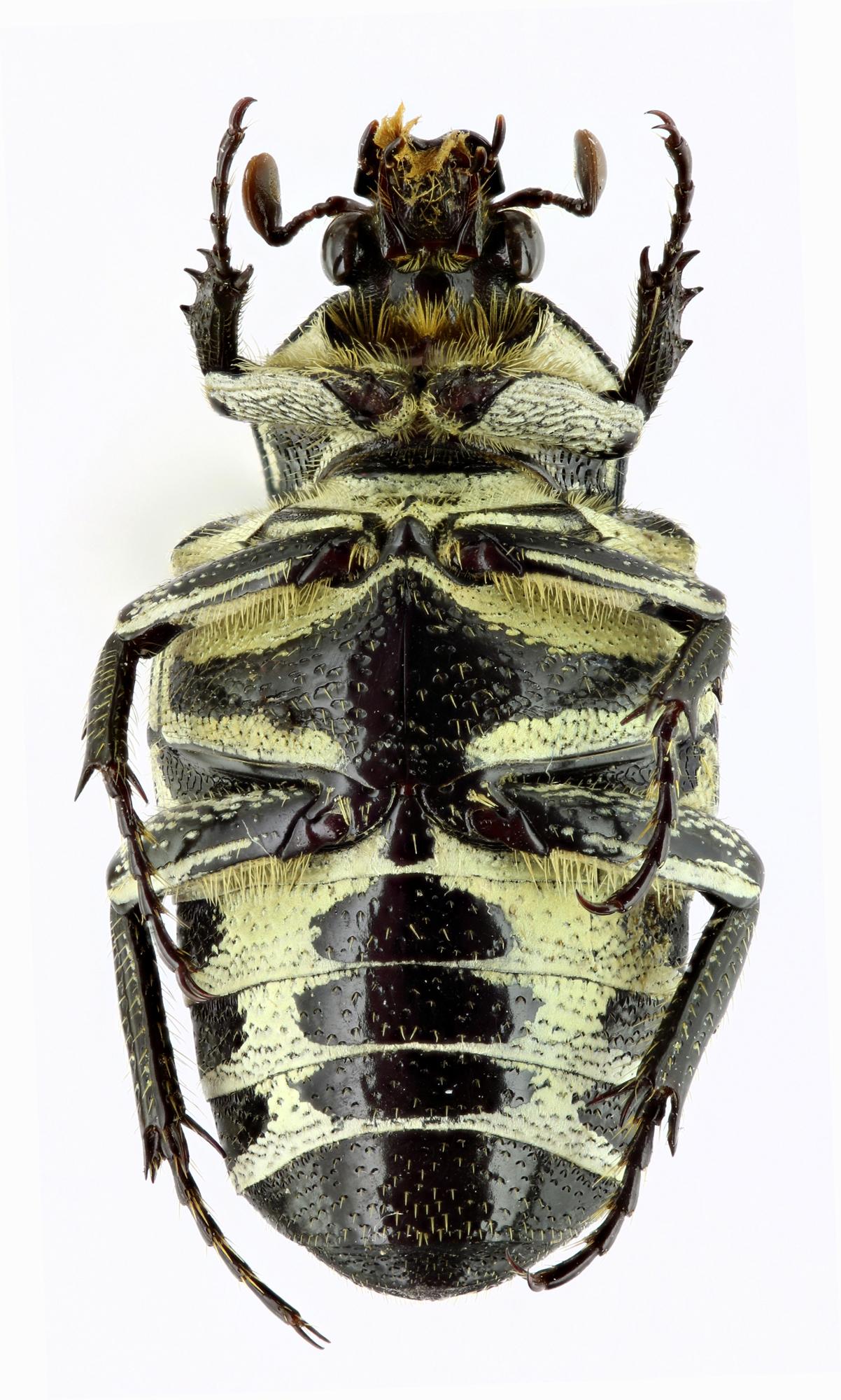 Taeniodera malabariensis 21682zs94.jpg