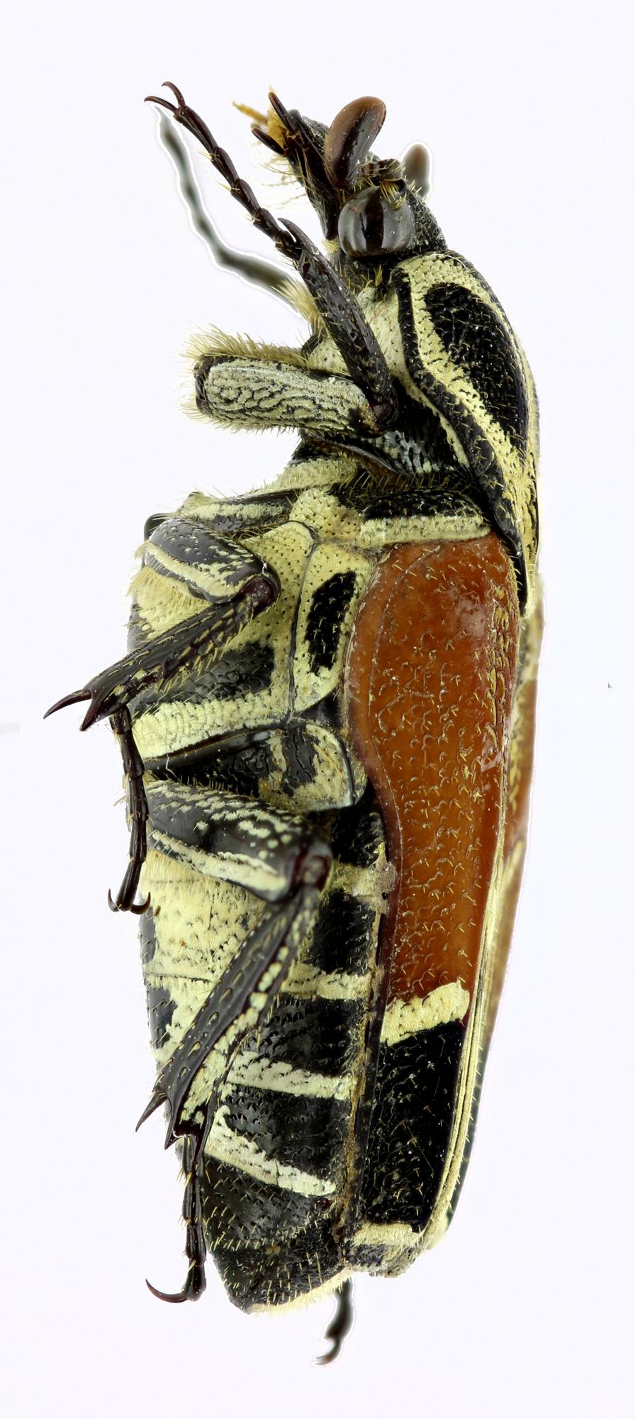 Taeniodera malabariensis 21695zs06.jpg