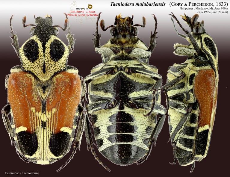Taeniodera malabariensis.jpg