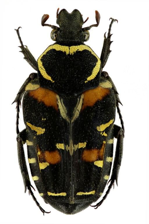 Taeniodera rafflesiana 11942zs55.jpg