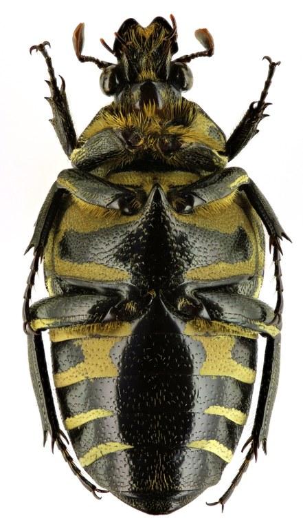 Taeniodera rafflesiana 11956zs71.jpg