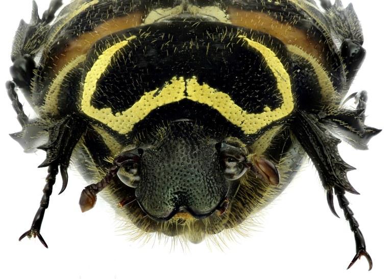 Taeniodera rafflesiana 11972zs07.jpg