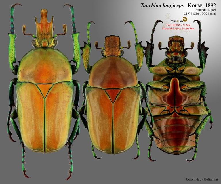 Taurhina longiceps longiceps.jpg