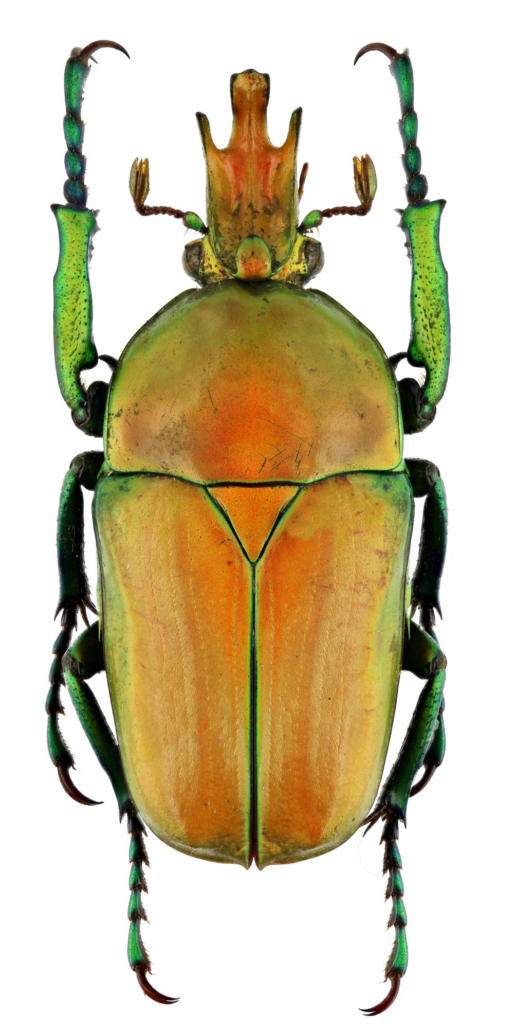 Taurhina longiceps longiceps 16554zs64.jpg