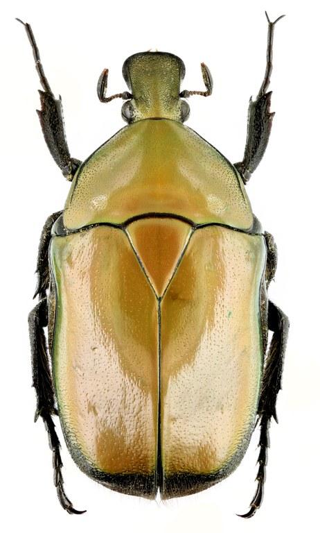 Torynorrhina apicalis 14184zs94.jpg