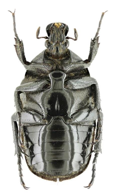 Torynorrhina apicalis 14195zs02.jpg