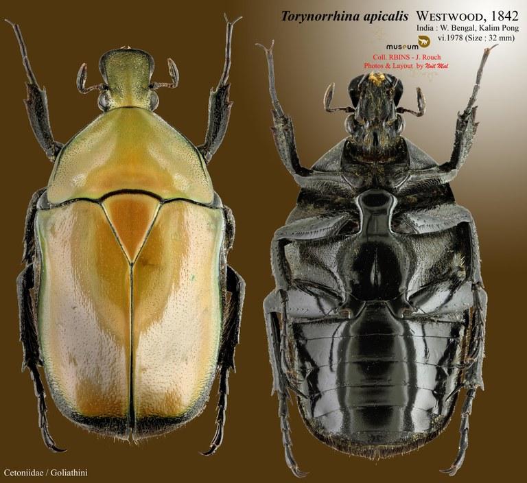 Torynorrhina apicalis.jpg