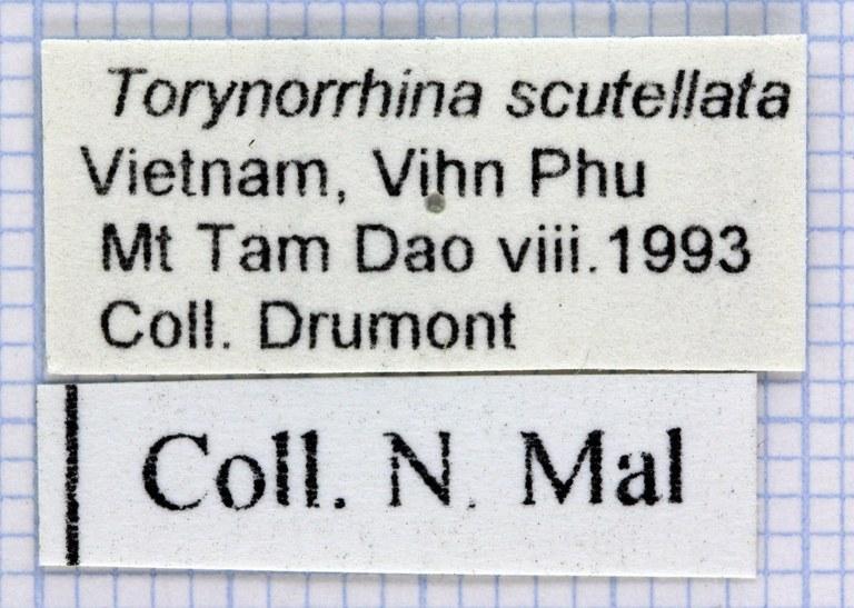 Torynorrhina scutellata 31262.jpg