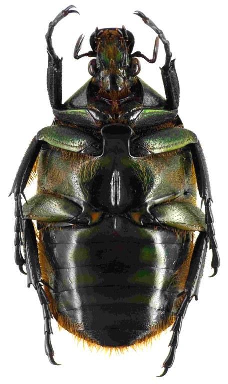 Torynorrhina scutellata 55036cz39.jpg