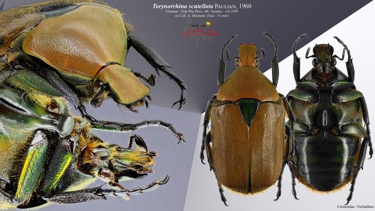 Torynorrhina scutellata pl.jpg