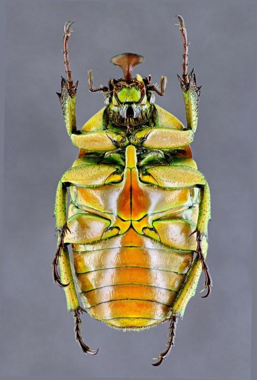 Trigonophorus rotschildi varians 36872zs87.jpg