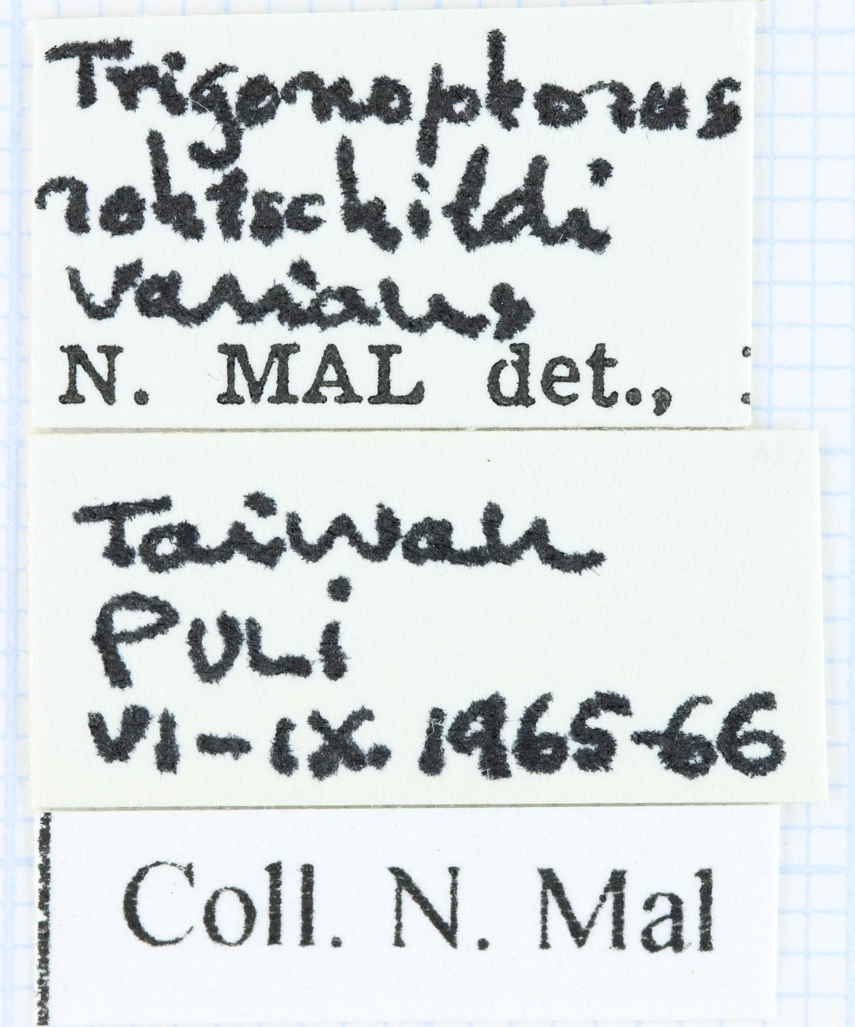 Trigonophorus rotschildi varians 36993.jpg