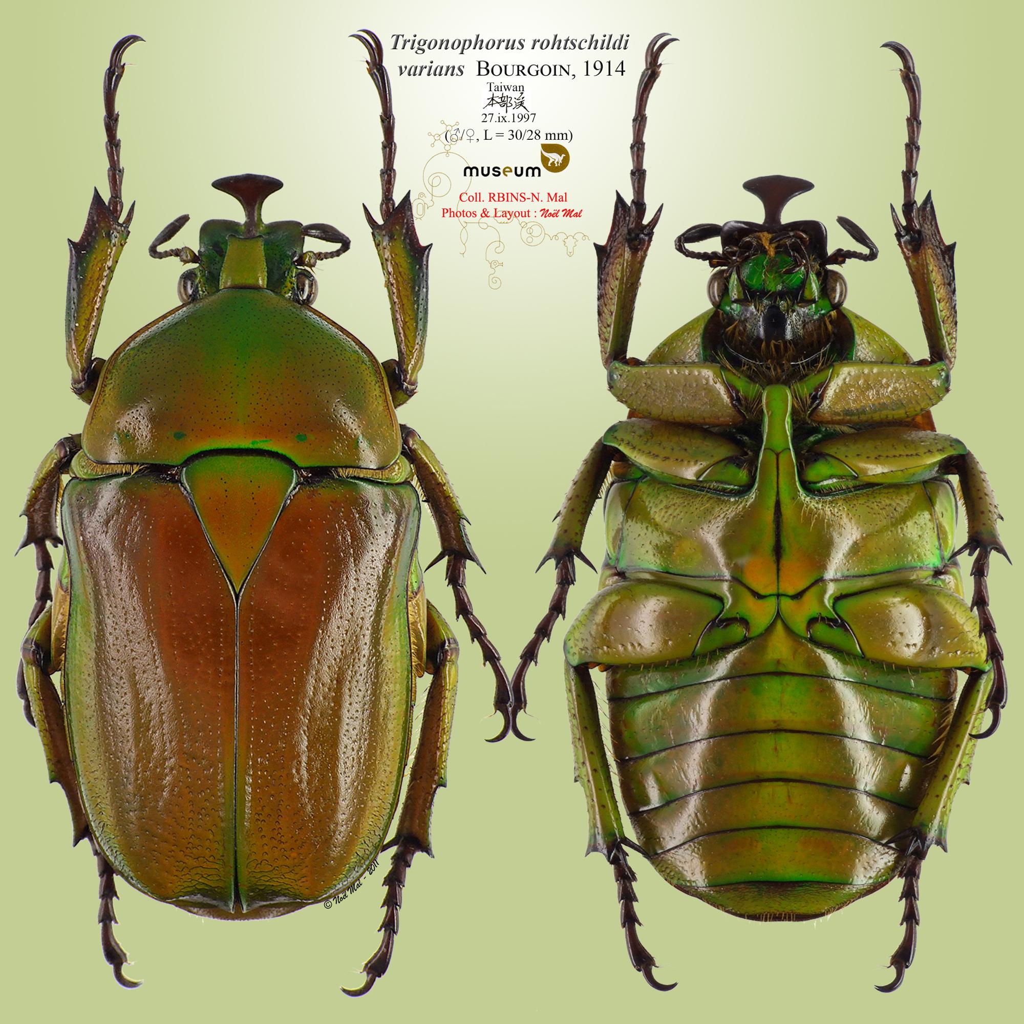 Trigonophorus rotschildi varians r2.jpg