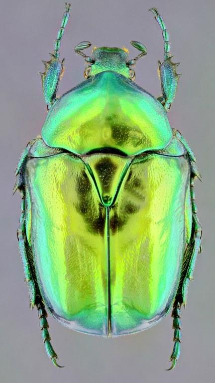 Cetonischema aeruginosa 27826zs37.jpg