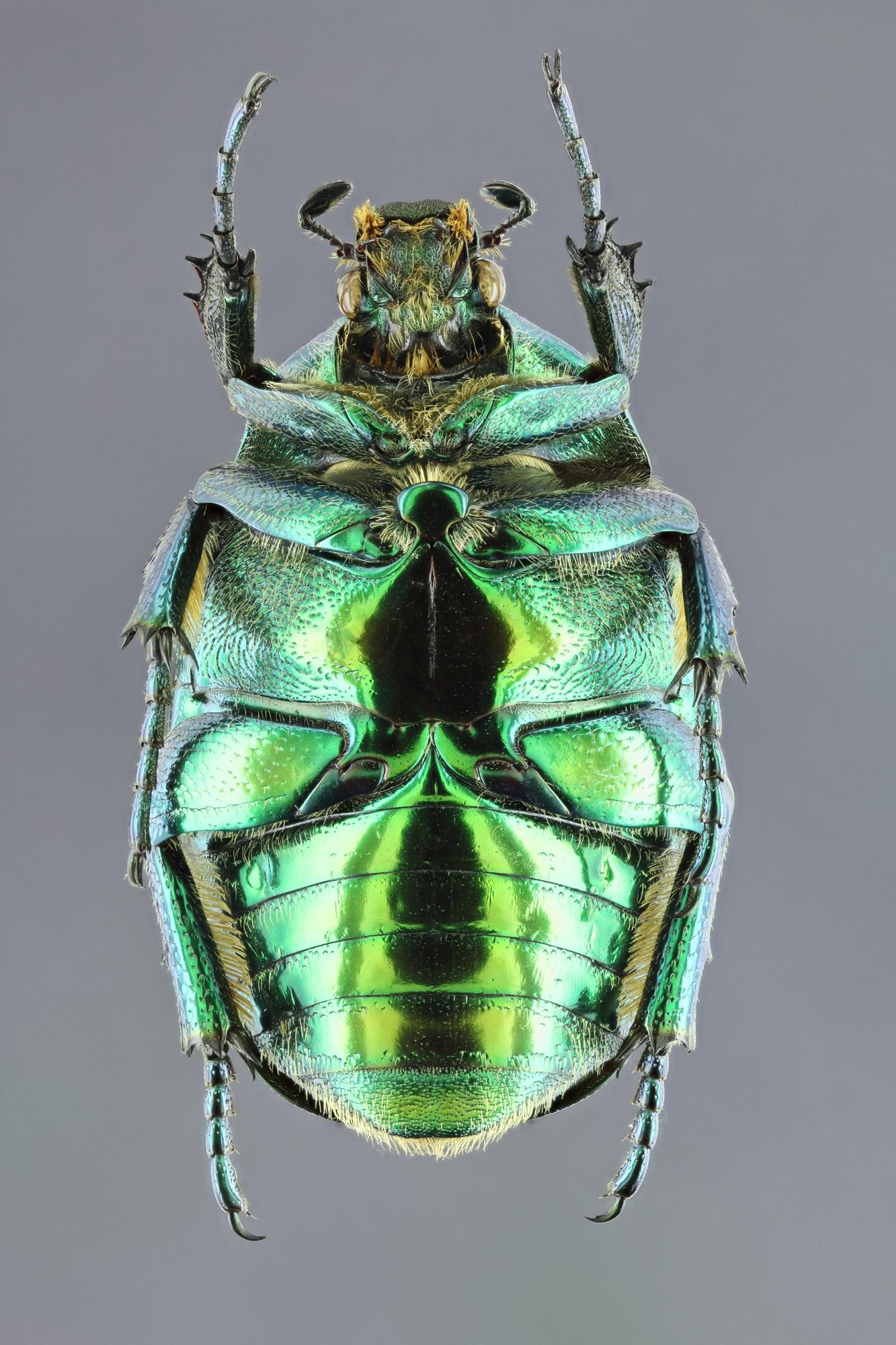 Cetonischema aeruginosa 27838zs47.jpg