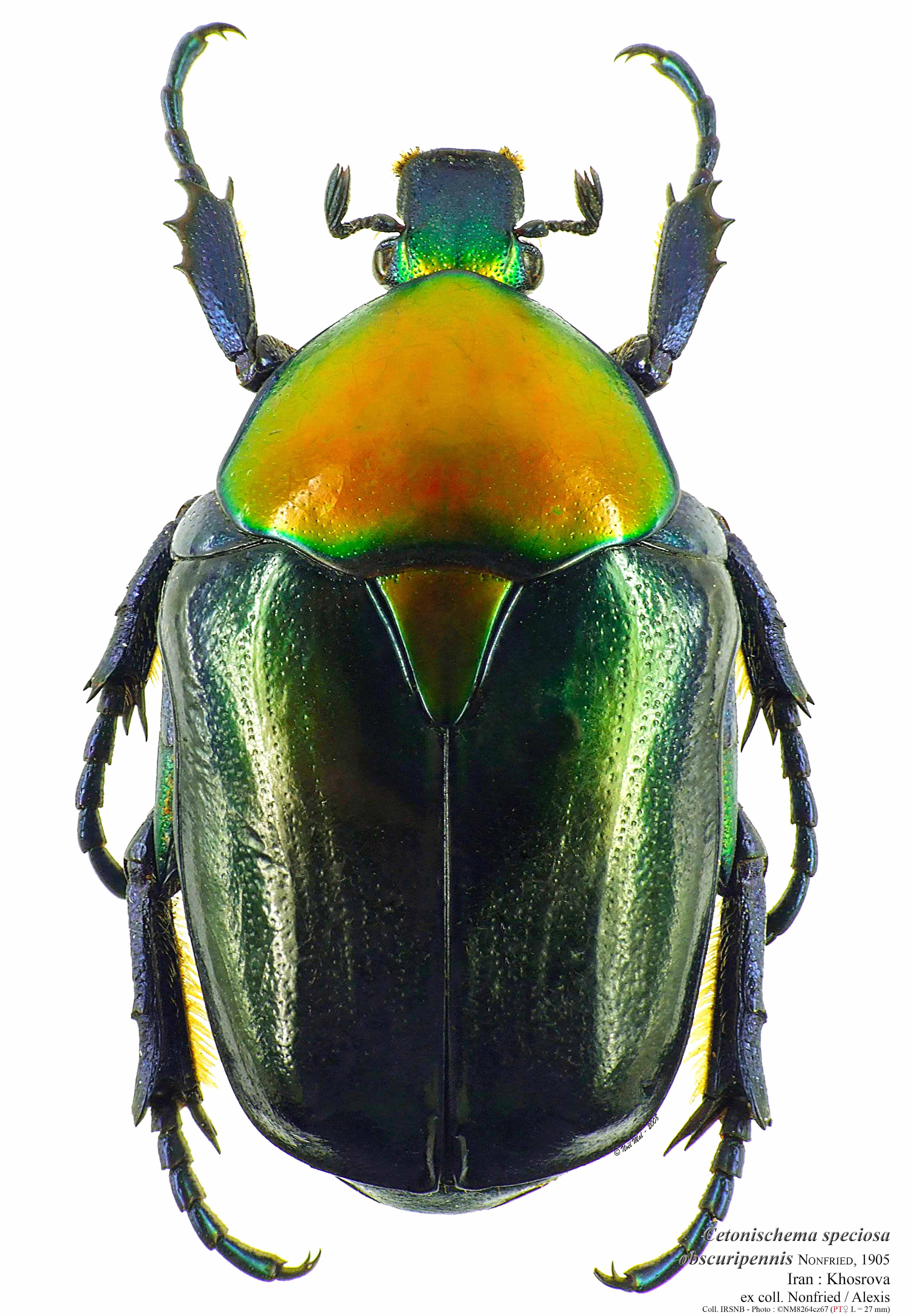 Cetonischema speciosa obscuripennis paratype.jpg