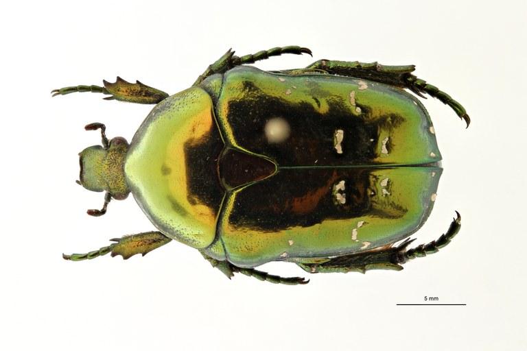 Chrysopotosia drumonti ht D ZS PMax Scaled.jpeg