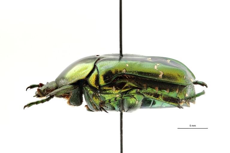 Chrysopotosia drumonti ht L ZS PMax Scaled.jpeg