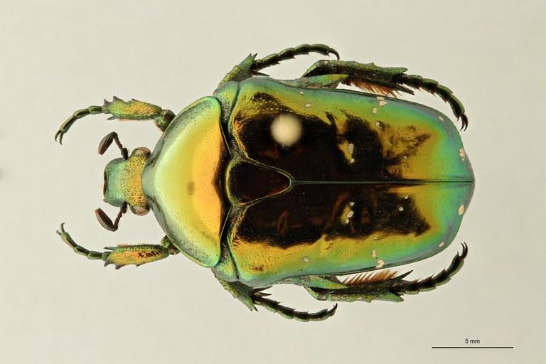 Chrysopotosia drumonti pt D ZS PMax Scaled.jpeg