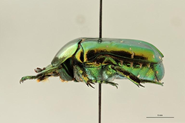 Chrysopotosia drumonti pt L ZS PMax Scaled.jpeg