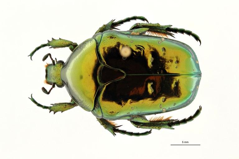 Chrysopotosia drumonti at D ZS PMax Scaled.jpeg