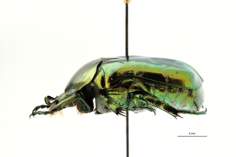 Chrysopotosia drumonti at L ZS PMax Scaled.jpeg
