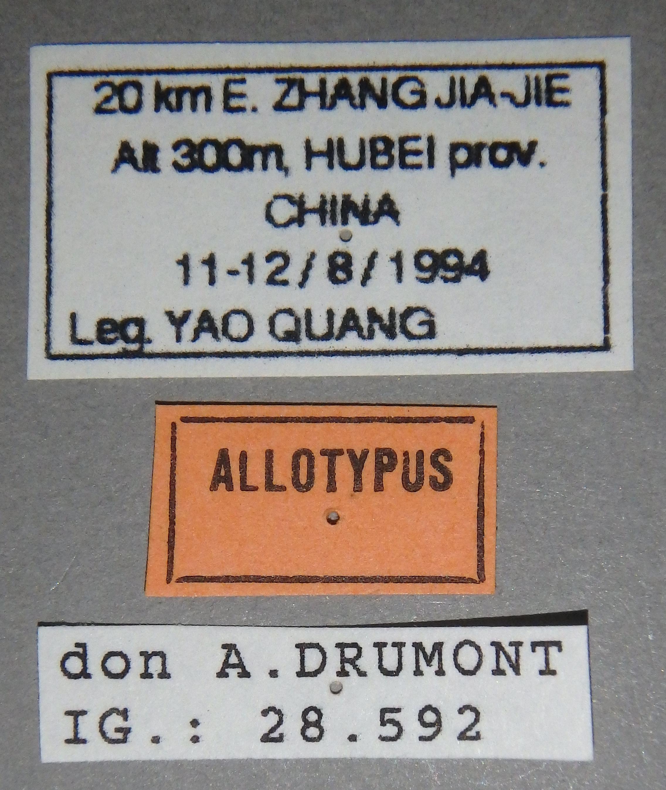 Chrysopotosia drumonti at Lb.JPG