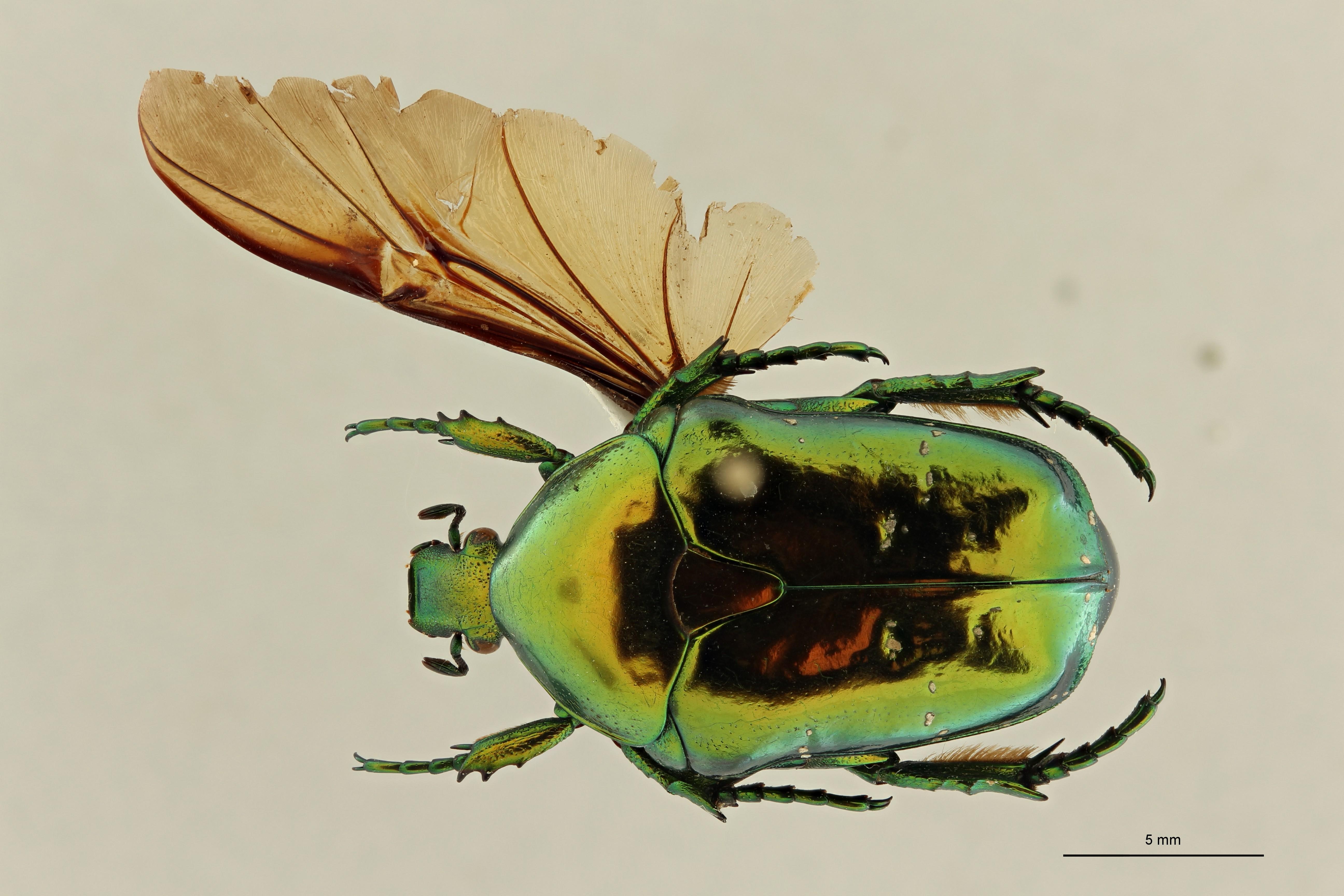 Chrysopotosia minshanensis pt2 D ZS PMax Scaled.jpeg