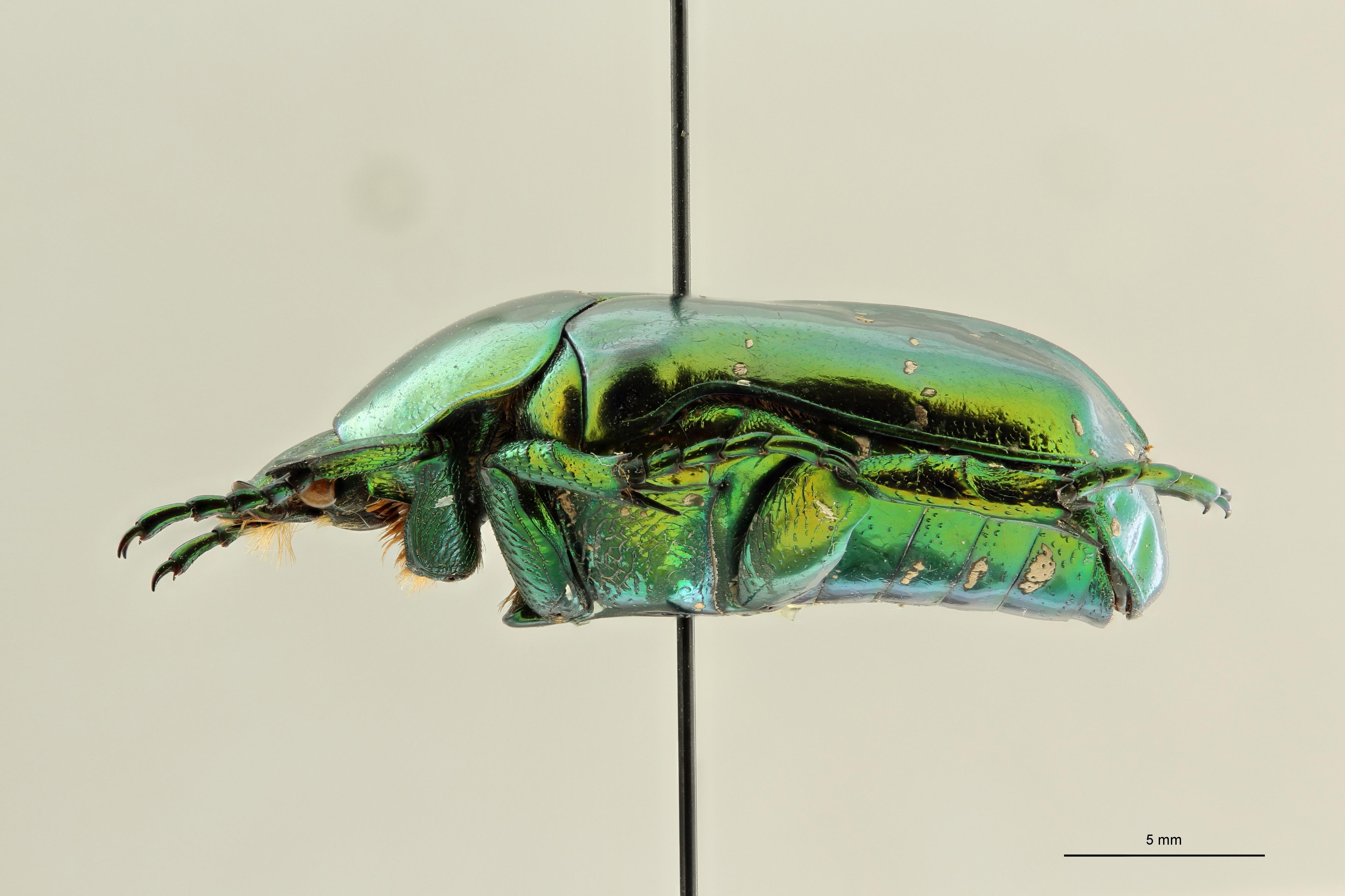 Chrysopotosia minshanensis pt2 L ZS PMax Scaled.jpeg