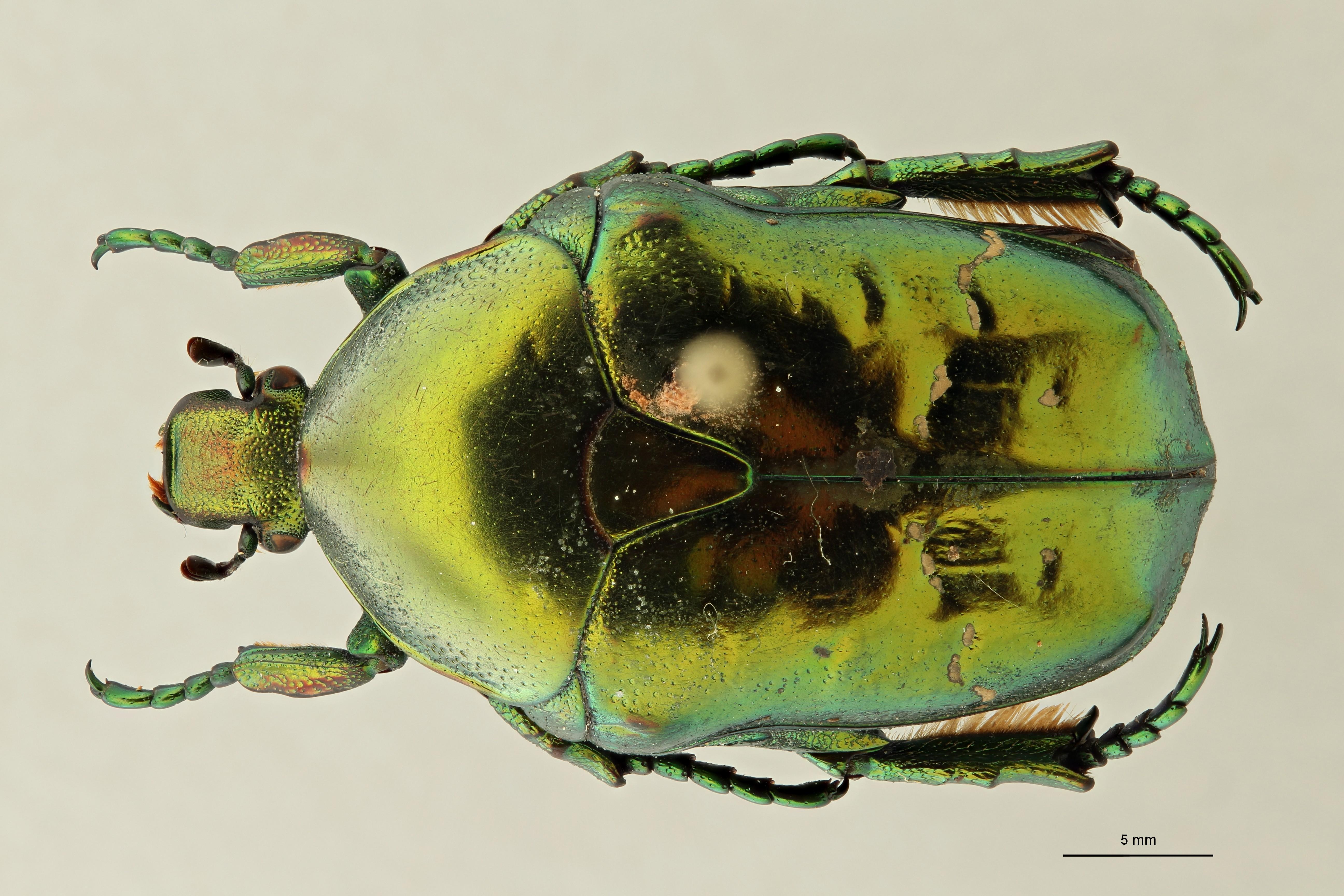 Chrysopotosia minshanensis pt1 D ZS PMax Scaled.jpeg