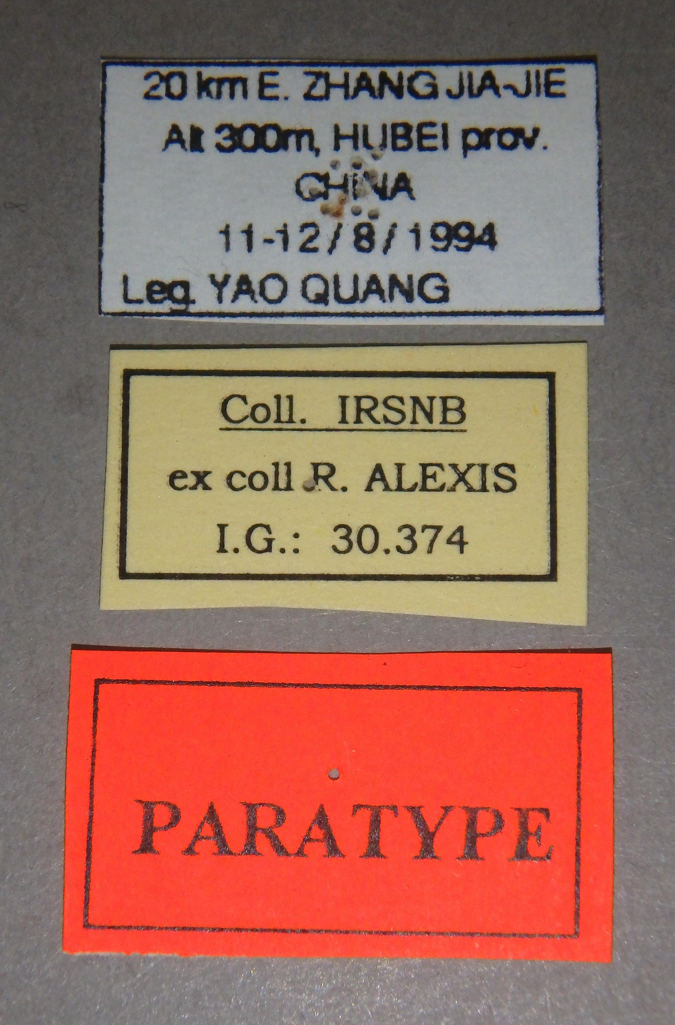 Chrysopotosia minshanensis pt1 Lb.JPG