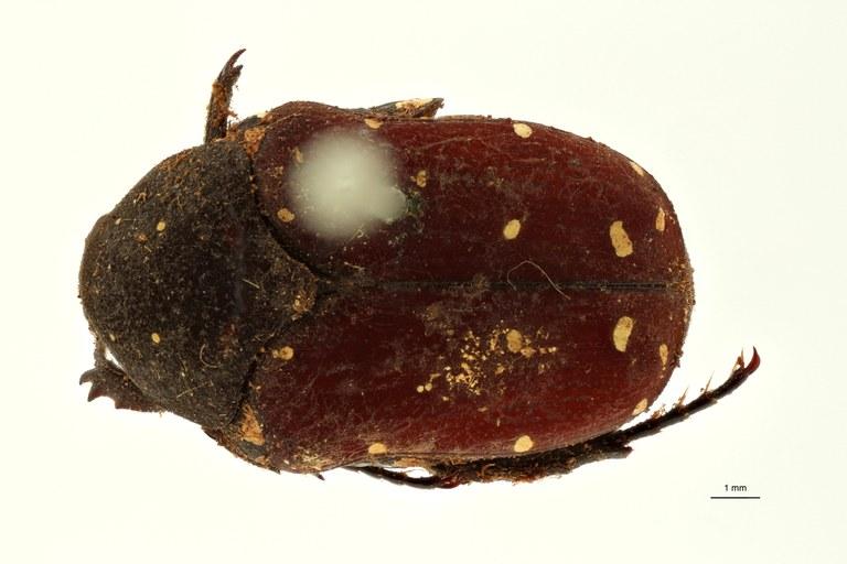 Clinteria pantherina t D ZS PMax Scaled.jpeg