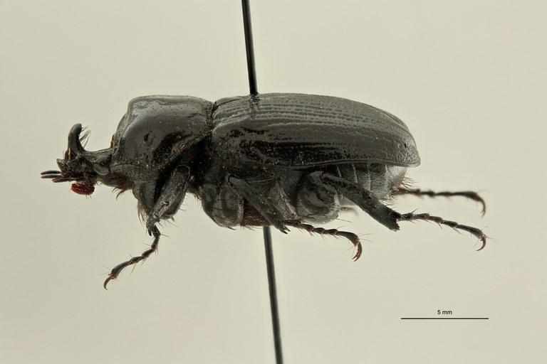 Coelocorynus abessynica ht L ZS PMax Scaled.jpeg