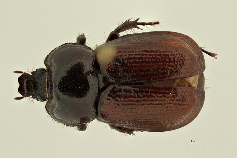 Coelocorynus baleensis ht D ZS PMax Scaled.jpeg