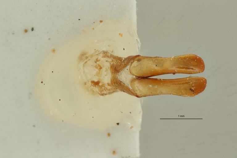 Coelocorynus baleensis ht DG ZS PMax Scaled.jpeg