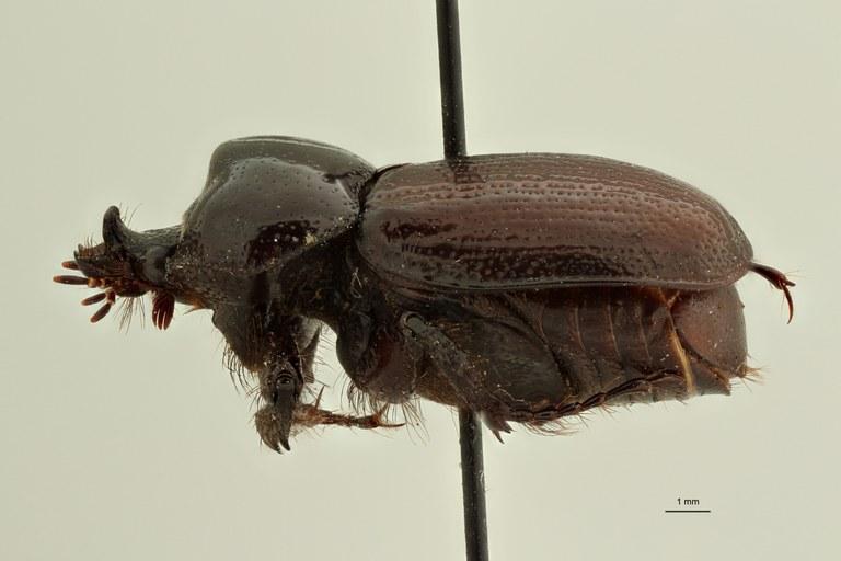 Coelocorynus baleensis ht L ZS PMax Scaled.jpeg