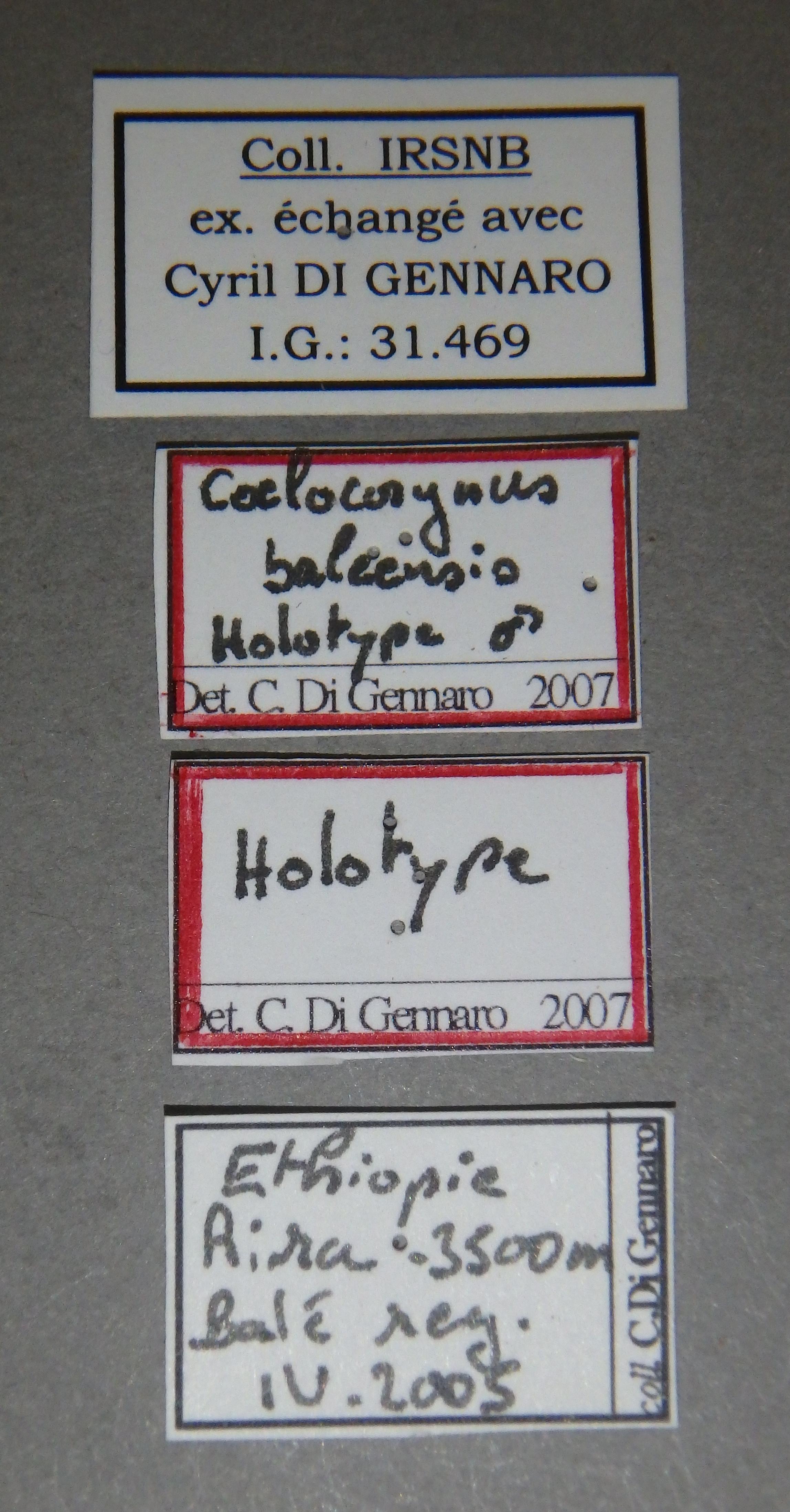 Coelocorynus baleensis ht Lb.JPG