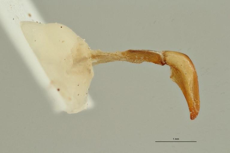Coelocorynus baleensis ht LG ZS PMax Scaled.jpeg