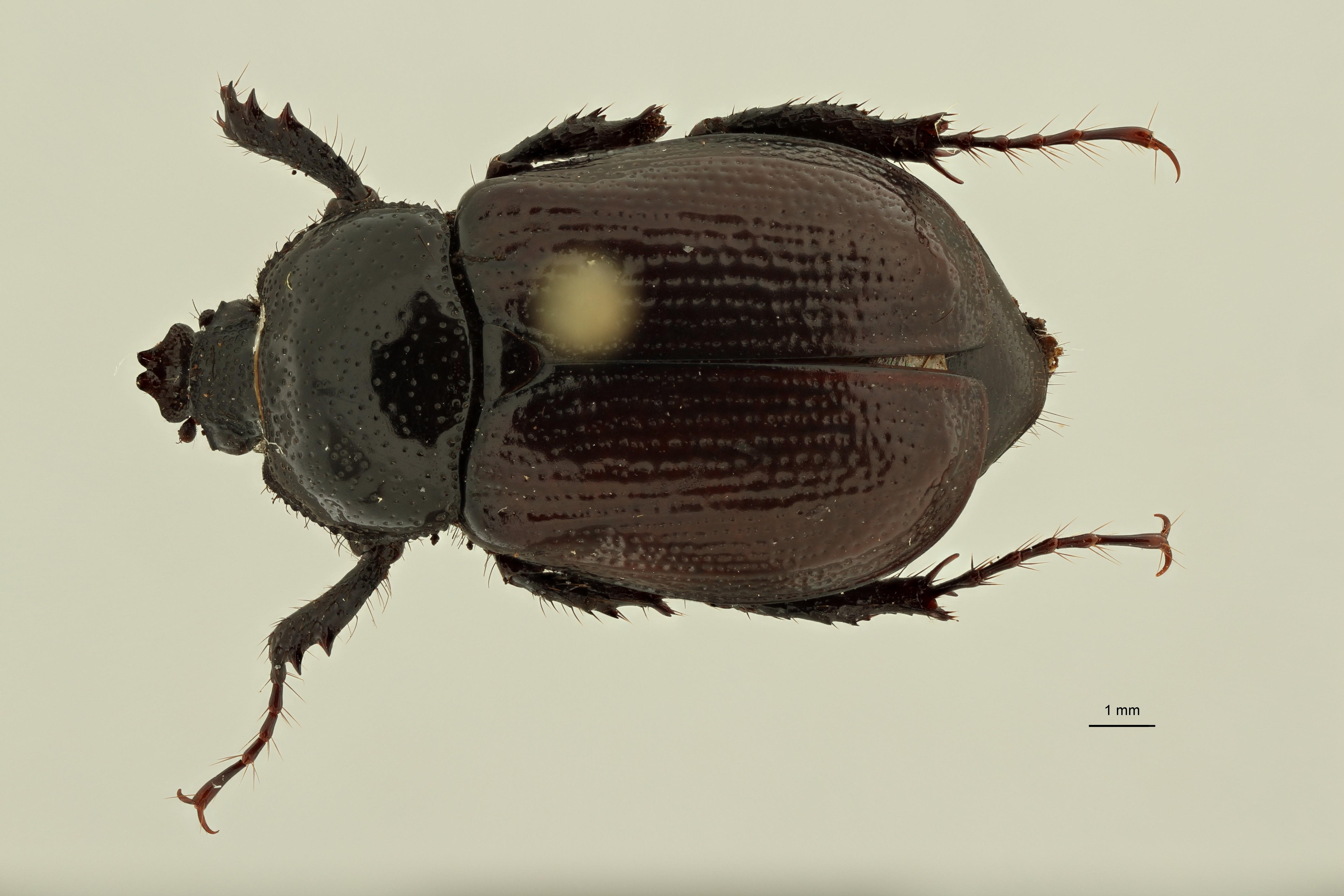Coelocorynus baleensis at D ZS PMax Scaled.jpeg