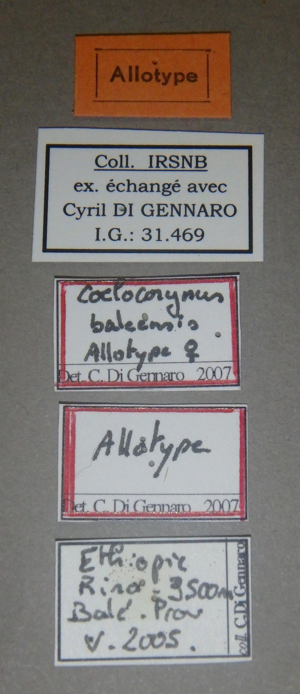 Coelocorynus baleensis at Lb.JPG