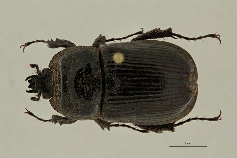 Coelocorynus milishai ht D ZS PMax Scaled.jpeg