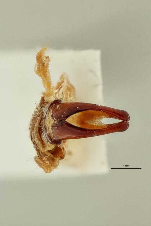 Coelocorynus milishai ht DG ZS PMax Scaled.jpeg