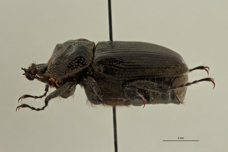 Coelocorynus milishai ht L ZS PMax Scaled.jpeg