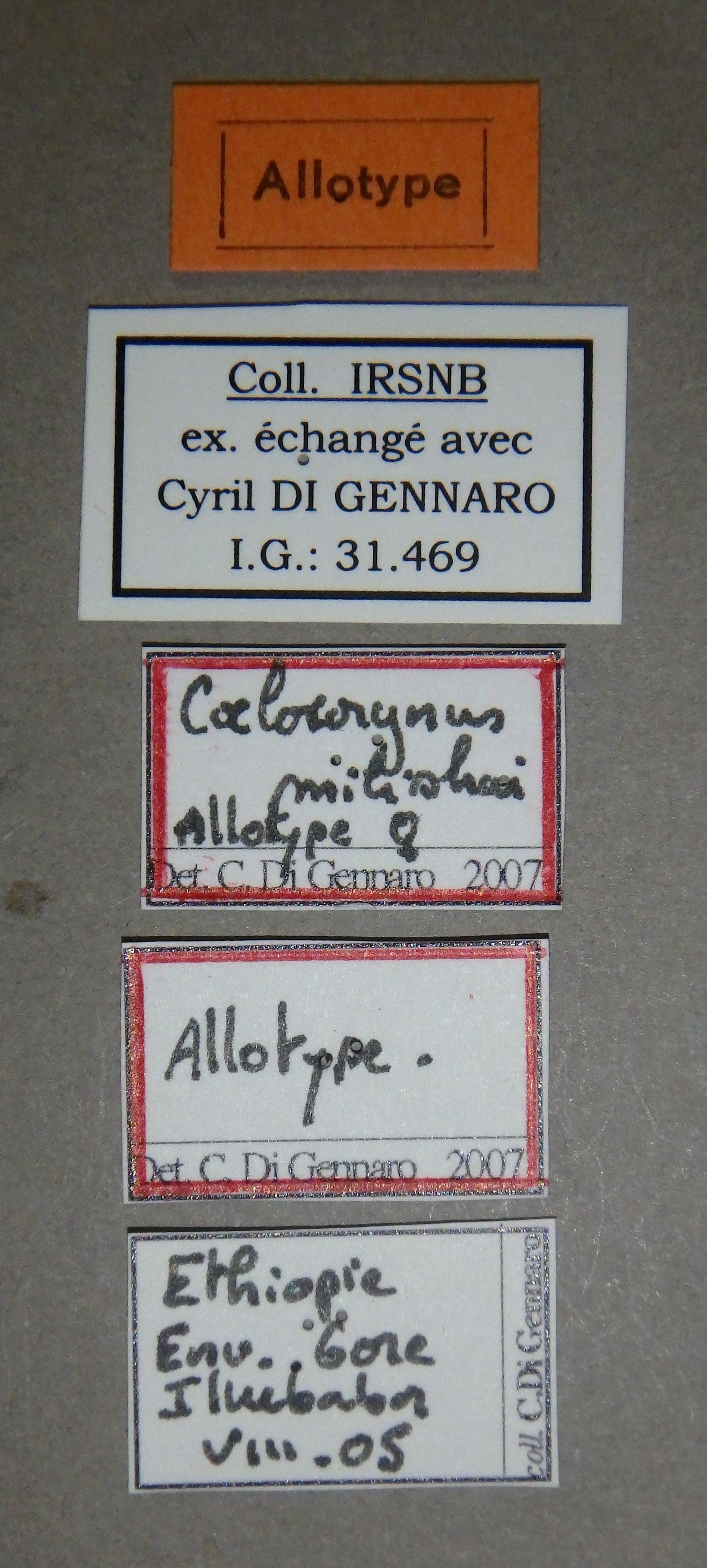 Coelocorynus milishai at Lb.JPG