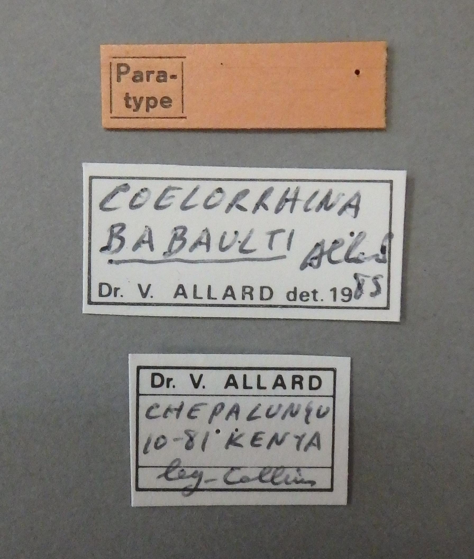 Coelorrhina babaulti pt 1 Lb.JPG